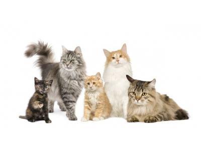 Những kiểu vân lông mèo cơ bản