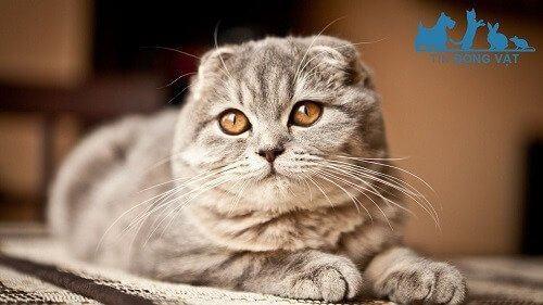 Rận mèo là gì? Nguyên nhân, cách điều trị Mèo bị ve rận