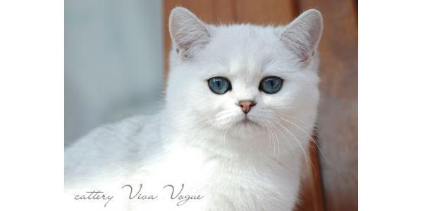 Mèo lông ngắn Colorpoint là một loạt nhiều giống mèo nhà khác nhau